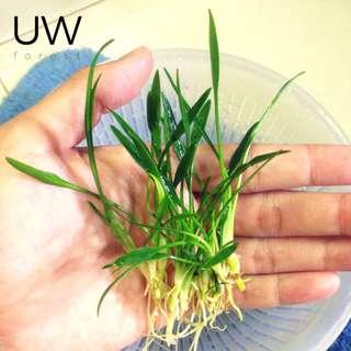 Aquatic Plant - Cryptocoryne Parva