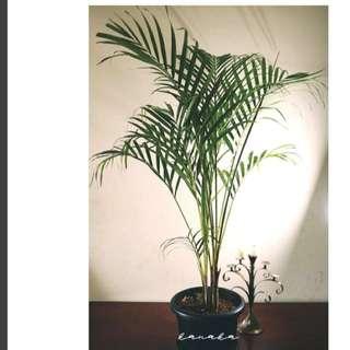 tanaman palem