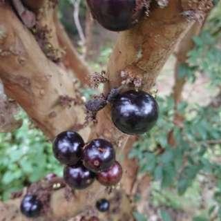 2018 超新鮮現採樹葡萄 大果10元大小 裸裝一台斤