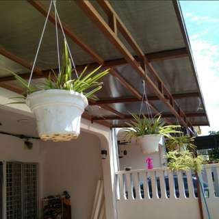 Spider plants set with pot