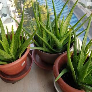 Home Growth Aloe Vera  (per stalk without pot)