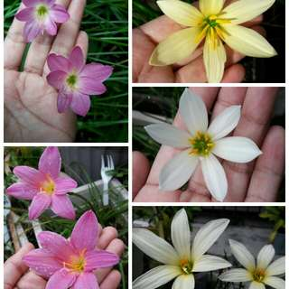 Zephyranthes seedlings (rainlily)