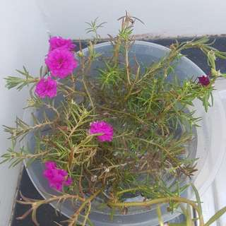 Portucula Rose Rooted Cuttings
