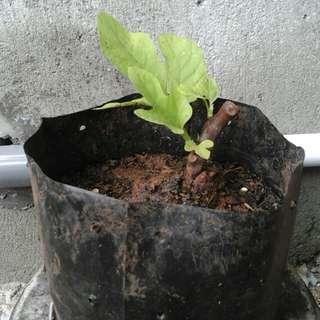 Pohon tin green jordan