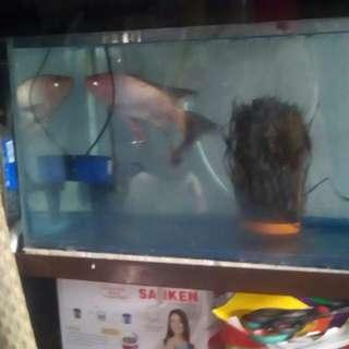 Ikan nila kunpay 1 ekor