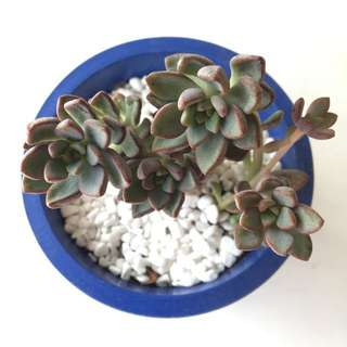 Succulent Echeveria Purple Dream In Stock Now