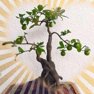 Chinese Persimmon Bonsai seed (Diospyros Kaki)