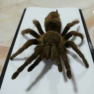 authentic Curly Hair Tarantula Molted Skin
