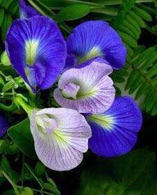 Lilac butterfly pea seeds
