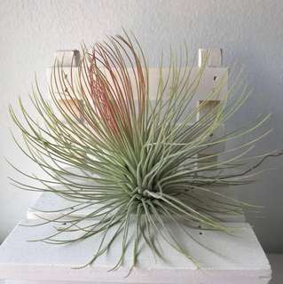 [READY STOCK!] Airplant | Tillandsia Andreana