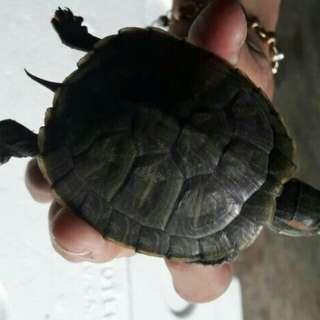 Kura brazil 7-8cm