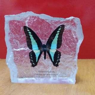 Preserved bufferfly 蝴蝶標本