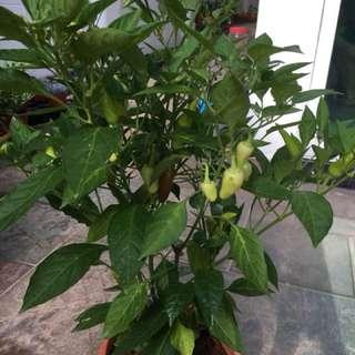 Rare! Back by demand! Super hot Thai Chilli!
