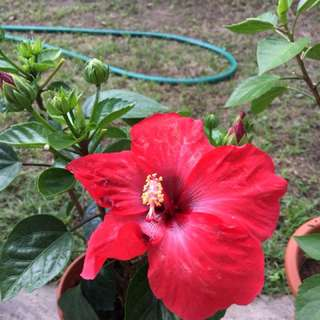 Hibiscus for sale