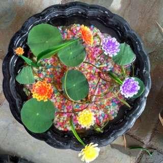 Mini lotus plants!
