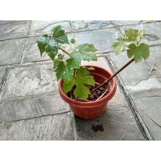 Green grape plants