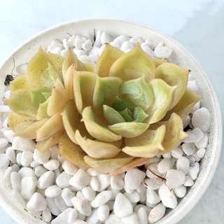 Succulent Echeveria Onslow Korean Quality Import