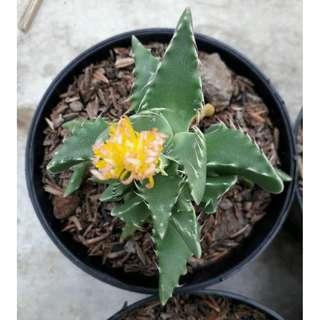 Kaktus & Sekulen