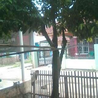 Pohon buah rukem terlangka di dunia,