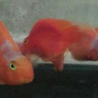 Perot merah putih 7-8cm