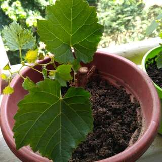 Wine Grape Kekfrankos Young plant