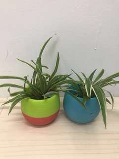 Spider plants in colourful pot