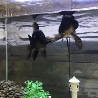 Black lion head lionhead Goldfish pair not arowana Oscar fish tank