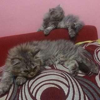Kucing Persian Medium