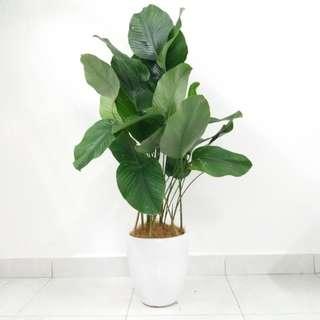 Thaumatococcus Indoor Plant 3ft