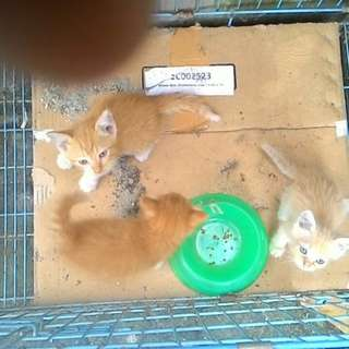 Kucing persia mix
