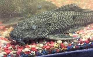 A Pair Of Sucker Fish