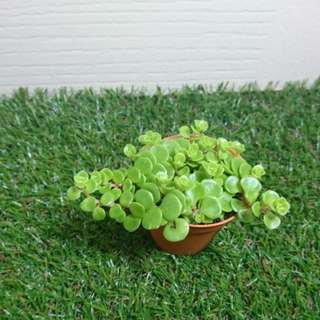 Little green rose succulent