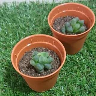 Haworthia babies