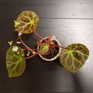 Begonia ignorata