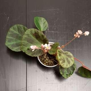 Begonia sp nova (undescribed)