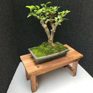 🌈SALES❗️Mini Shui Mei Bonsai