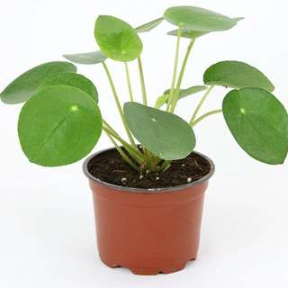 Chinese money / Pancake plant / UFO plant (Pilea peperomioides)