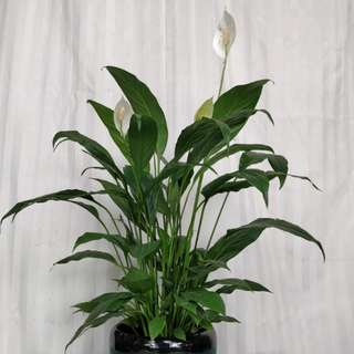 Peace Lily white