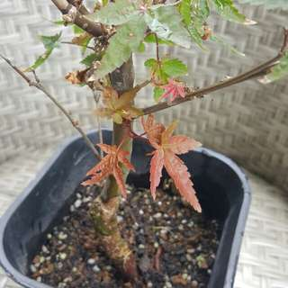 Imported Japanese Maple