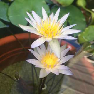 Soil-free Water lily (Purple)