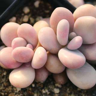 😍RARE SUCCULENTS: R002 - Graptopetalum Amethysinum PAIR (FIRST COME FIRST SERVE! VERY LIMITED STOCKS!)😱