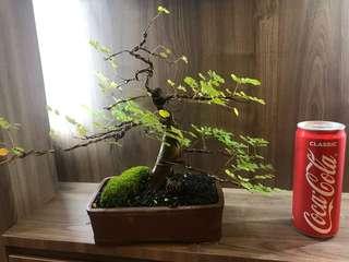 Shohin Raintree Bonsai