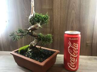 Shohin Shimpaku Juniper Bonsai