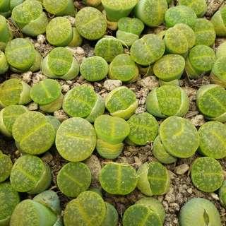 Lithops (lesliei albinica C036A) -- Living Stone Plants
