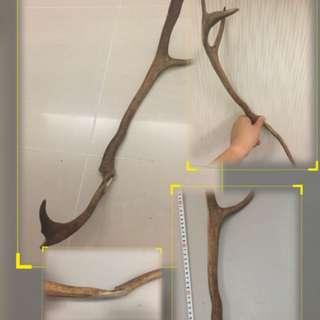 54cm天然芬蘭麋鹿角
