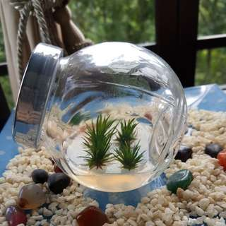 Air Plant - 4 mini Andreana in a Bottle