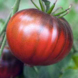 Organic Tomato 'Black Sea Man' (Lycopersicon Esculentum Mill.) - determinate Russian heirloom
