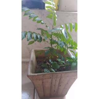 Curry Leaves Plant for Sales!