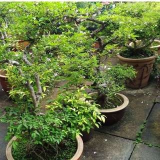 SALES! Potted Singapore Potted Jasmine Plants