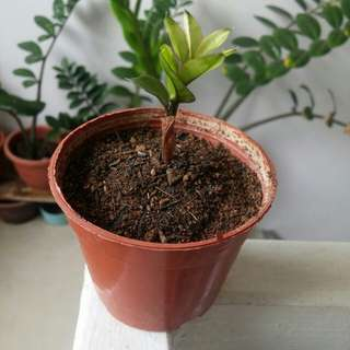 Mini ZZ (Zamioculcas) plant (4cm tall) as of 25 Feb